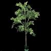 Planta Aralia Ming 120 cm Árvore da Felicidade